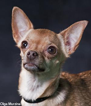 Дрессировка маленьких (декоративных) собак